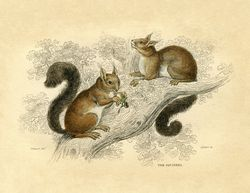Squirrels vintage image graphicsfairy2sm