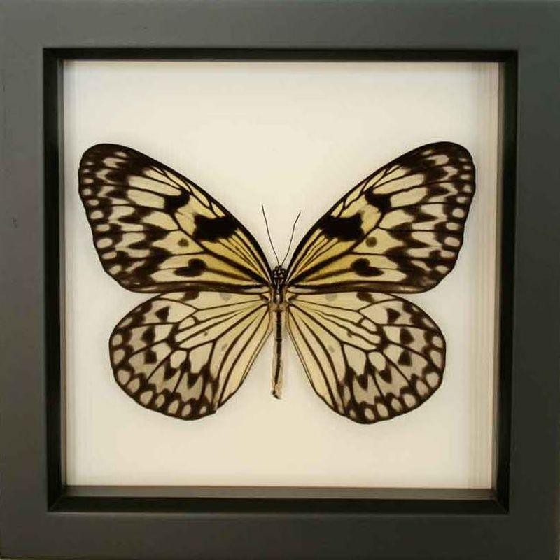 Butterfly framed