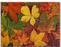 Autumn Leaves Pilgrim